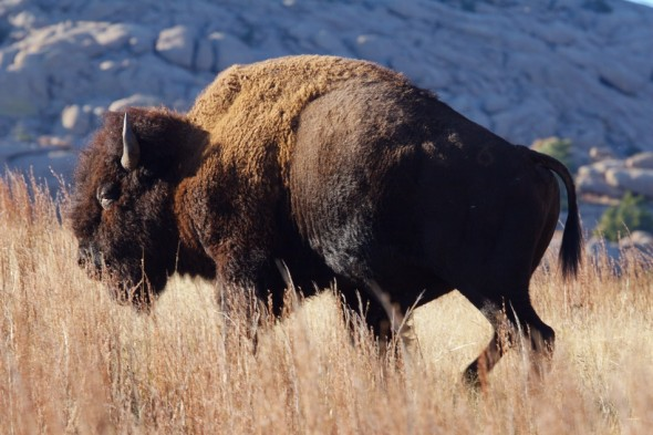 Bison from the Wichita Mountains in Oklahoma
